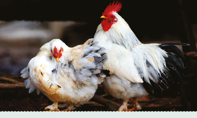 Wells Farm Fine Foods Poultry Image
